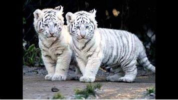 image tigre blanc.jpg